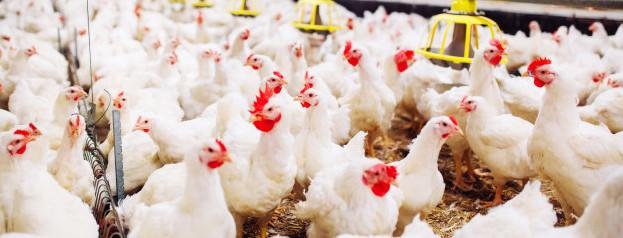 Приклад обліку птахівництва та виробництва яєць в 1С:БСПУ