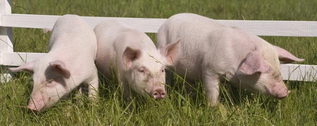 Облік свинарництва в 1С: БСПУ